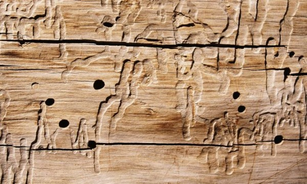 carcoma-madera