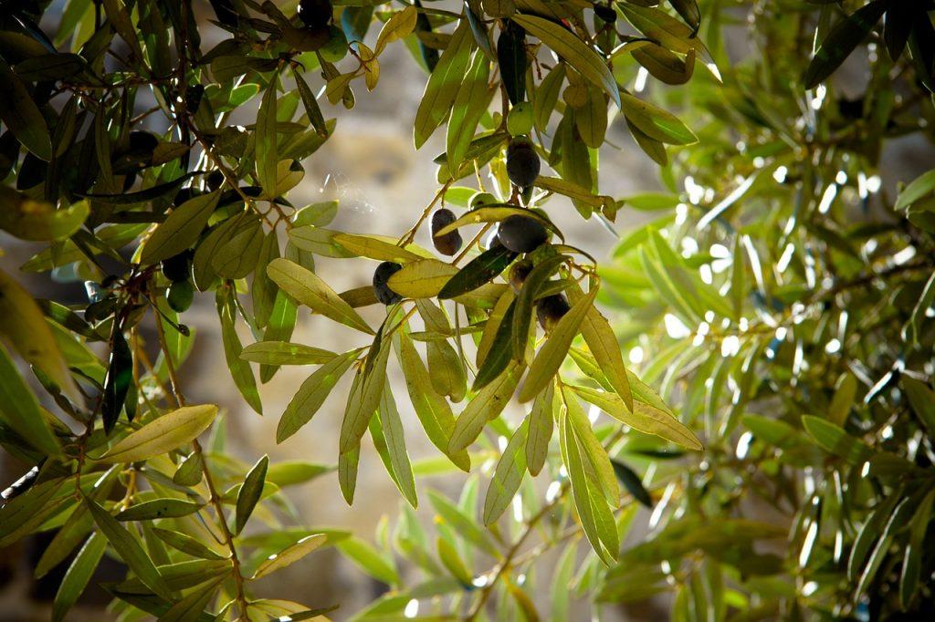 Detalle de hojas de olivo